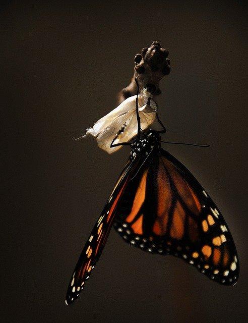 a Caterpillar becomes a Monarch Butterfly